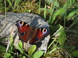 Butterfly in Featherbed Forest