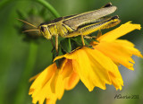 Grasshopper-on-Flower.jpg