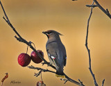 Waxwing-October302011.jpg