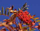 Mountain-Ash-Berries.jpg