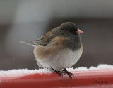 Junco-Apr15-2012.jpg
