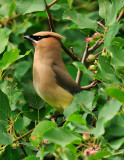 July-16-Waxwing.jpg