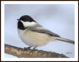 Jan08Chickadee.jpg