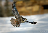 Northern Hawk Owl.jpg