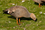 duck and duck poo-6012.jpg