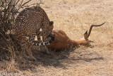 Cheetah pulling her kill into the shade