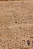 Snake track