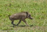 3 legged baby warthog