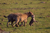 Help me!!!  Mom hyena carrying baby to a new den.