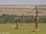 Giraffes are very vulnerable when they lay down so you don't see it real often.