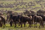 Wildebeests (or gnu)