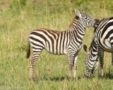 Little zebra nibbling on mom