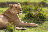 I love the lionesses