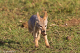 Very young black backed jackal