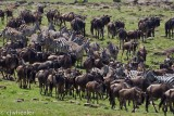 Wildebeest gathering for a possible crossing