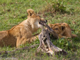 Two young cubs playing