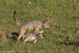 Black backed jackals playing leap frog