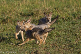 Black backed jackals playing