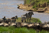 The zebras usually start a crossing