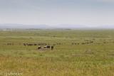 Wildebeest all over the plains