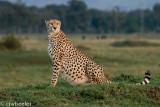 A cheetah looking very full
