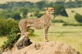 Cheetah with 4 month old cub. The mom is called Malaika