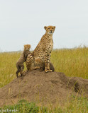 Cheetah, Malaika, with two 4 month old cubs