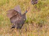Guinea fowl acting crazy