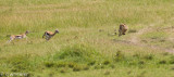 Cheetah, Malaika, chase and kill. Not great photos but it was great action!