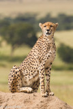 Cheetah. Malaika, the mom