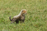 Wet cheetah cub. The grass was wet most mornings