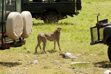 Cheetah, Malaika, scared for her cubs because she is surrounded by vehicles