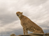 Cheetah,Malaika, on the roof of our vehicle!!