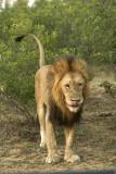 lion spraying_6340.jpg