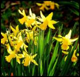 Daffodile's