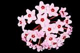 Hoya carnosa small plant 03