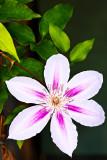 white purple clematis
