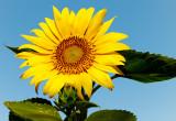 sunflower blue sky & bugs