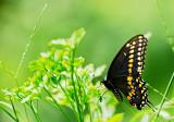 Black Swallowtail 01