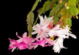 Xmas Cactus 07