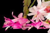 Xmas Cactus 08