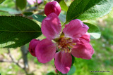 Profusion Crabapple Bloom