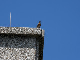 The robin is not happy with the new life on the building and makes its attitude known to the falcon.
