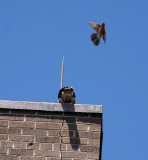 It kept divebombing the poor bird time after time.  The chick just kept ducking.