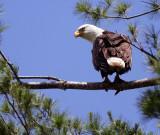 Female never far from the nest.