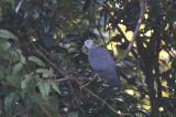 Ashy Wood Pigeon