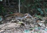 Large Scimitar Babbler