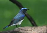 Blue & White Flycatcher