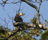 Rusty-cheeked Hornbill (Brown Hornbill)