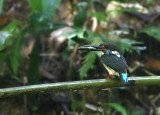 Blue-banded Kingfisher